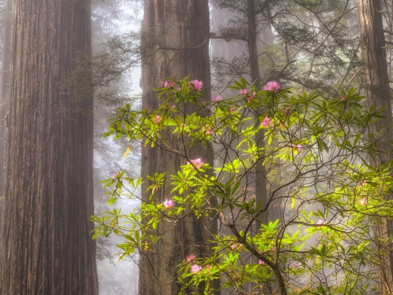 forest and rhododendrons