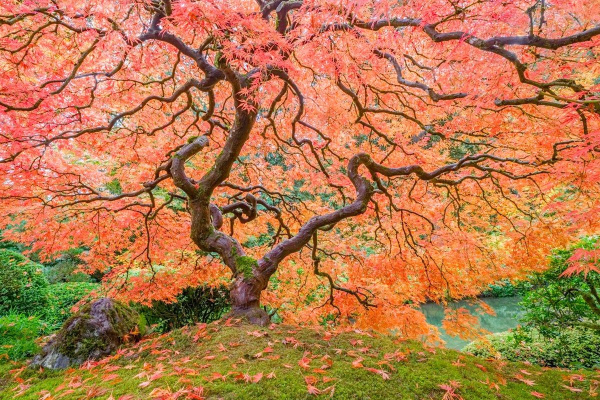 Maple tree in autumn, Portland, Oregon.